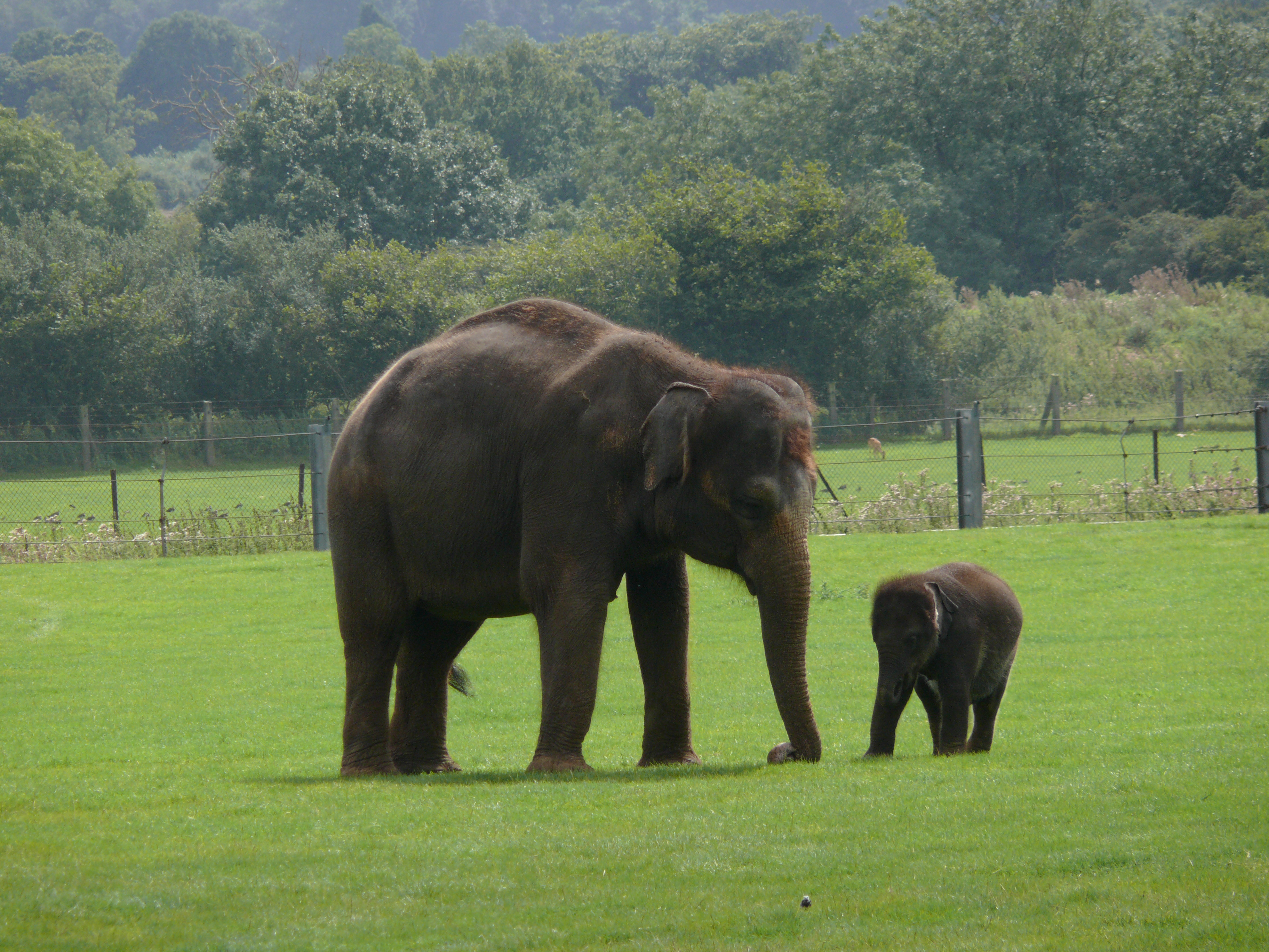 أنثى الفيل الهندي