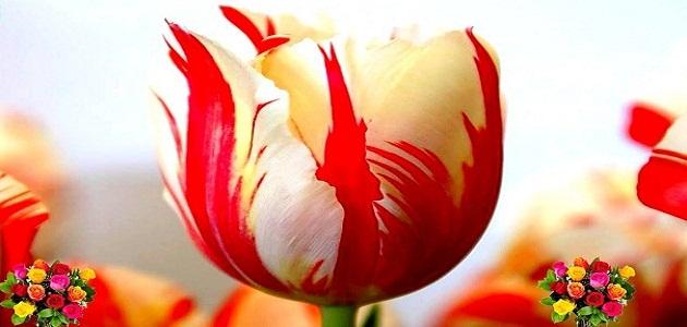 جمال الورد