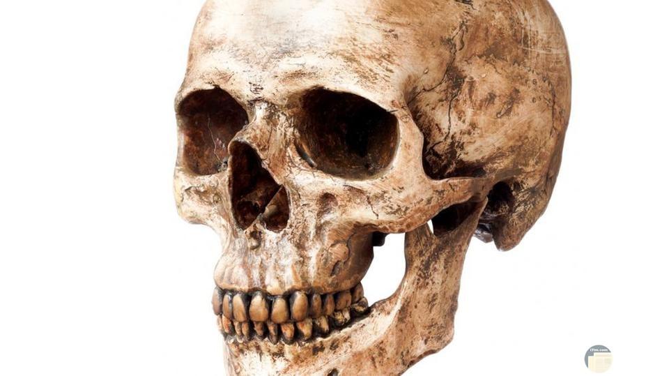 جمجمة بشرية حقيقية