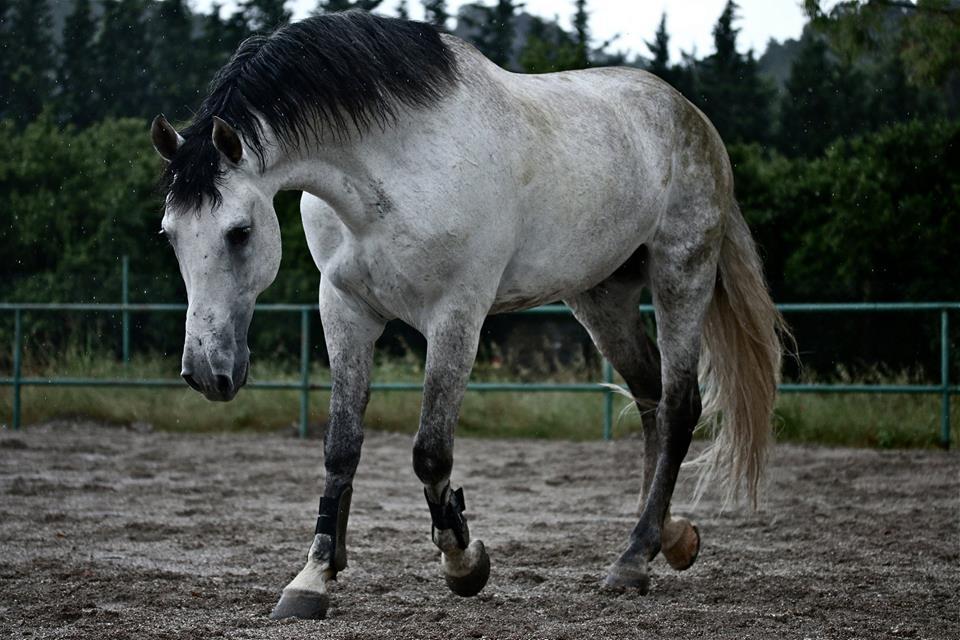 حصان أسباني