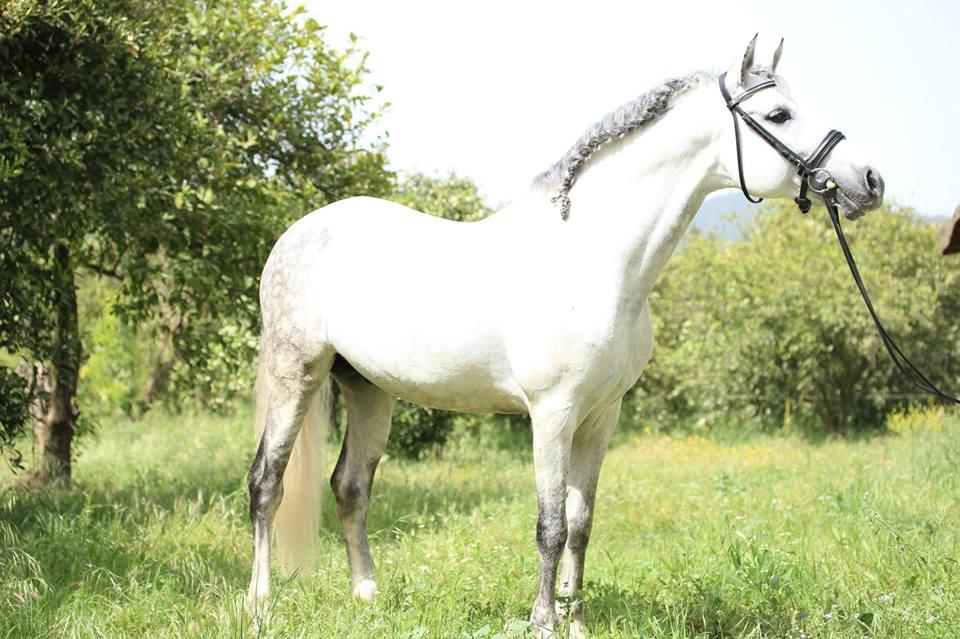 حصان أندلسي أبيض