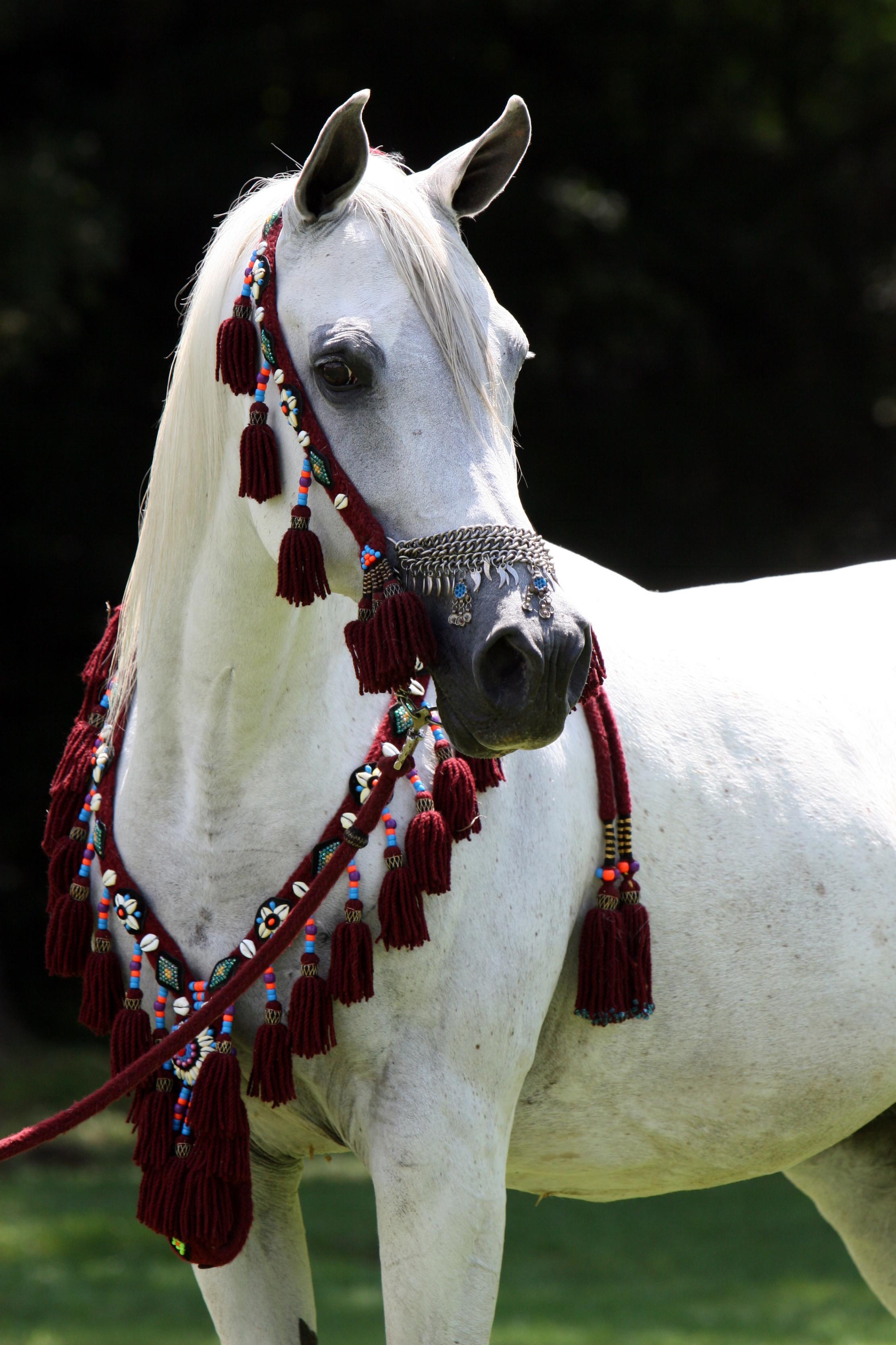 حصان عربي أبيض