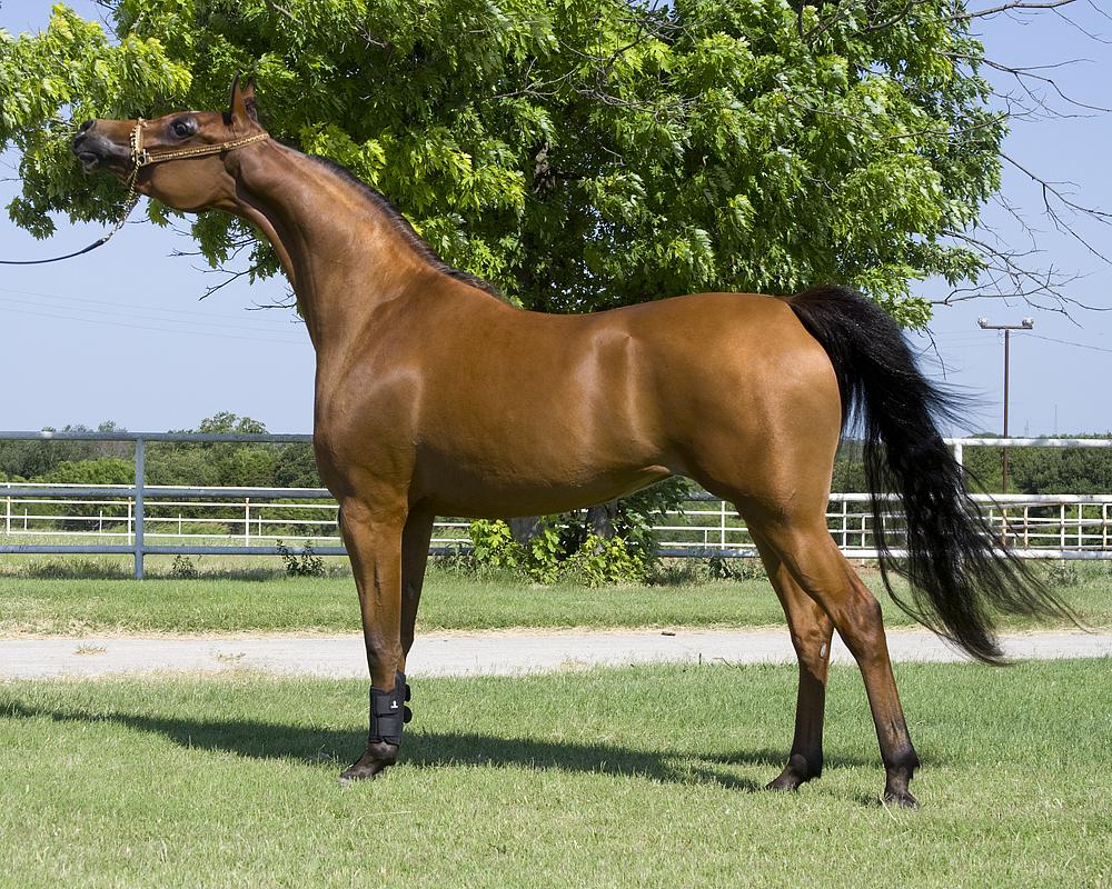 حصان عربي أصيل
