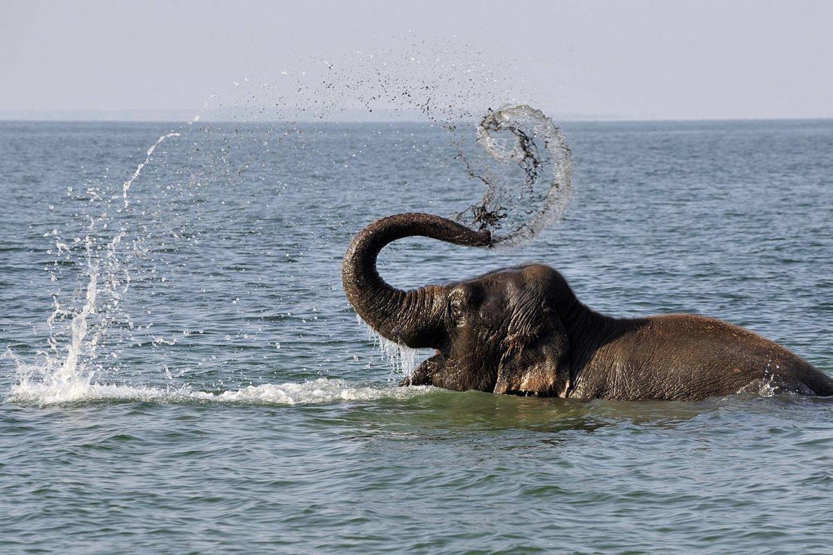 الفيل يرش الماء بخرطومه