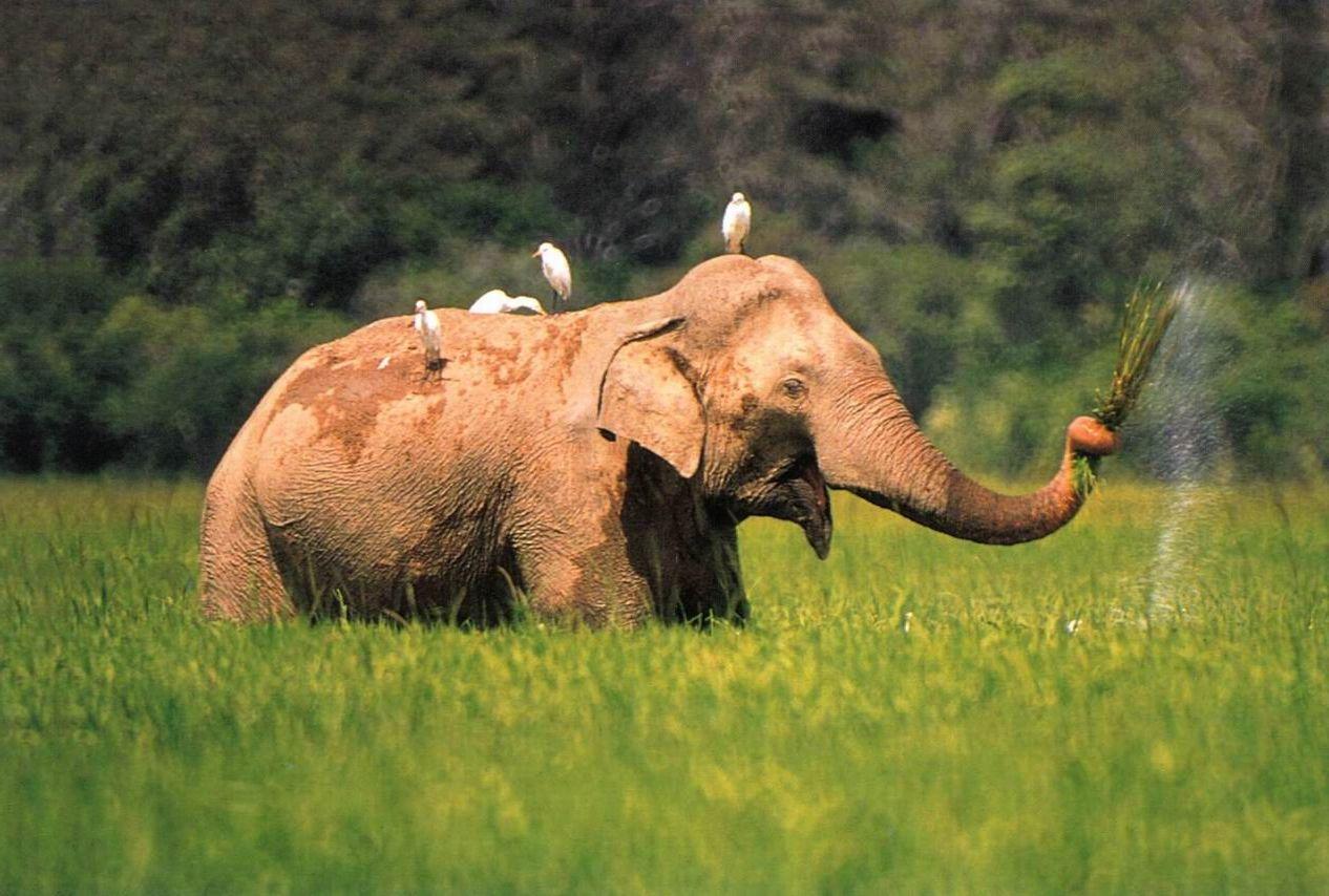 زلومة الفيل
