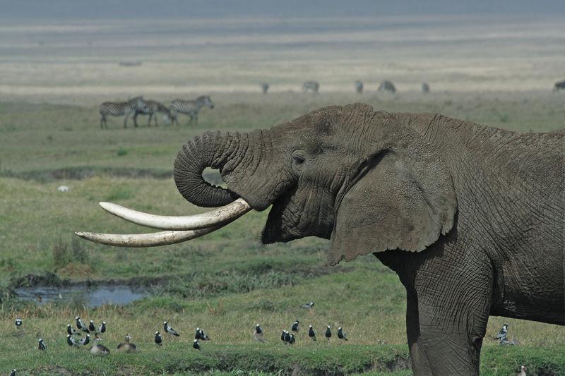 زلومة فيل