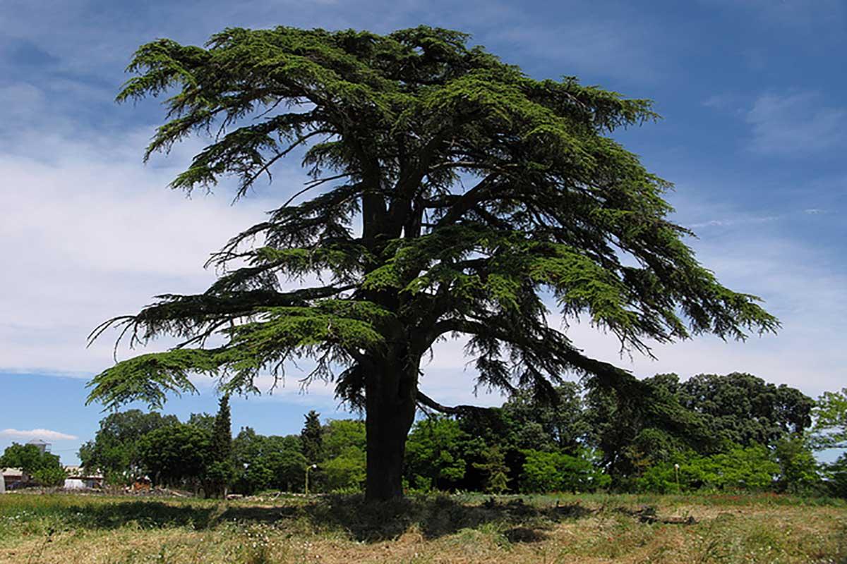 شجرة الأرز اللبنانية