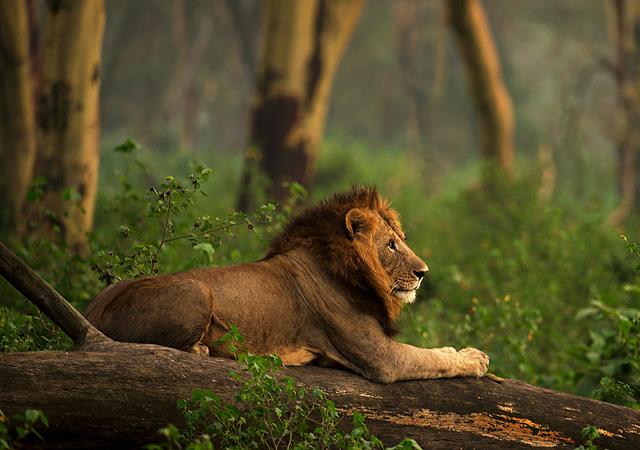 صورة رائعة لملك الغابة