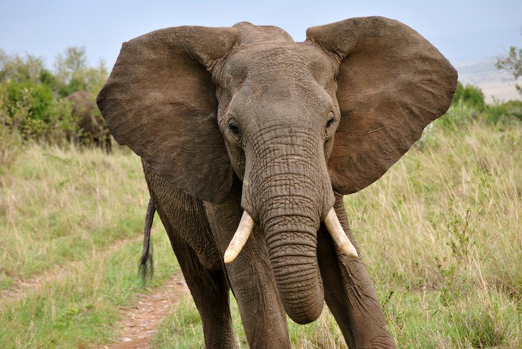 صورة فيل أفريقي
