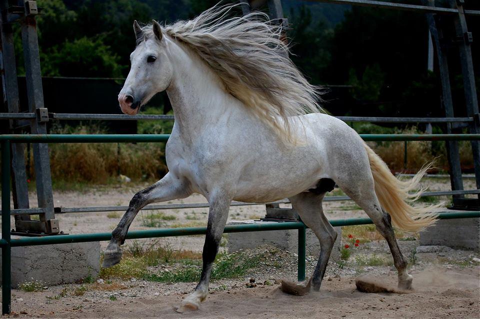 صورة لحصان أسباني أبيض