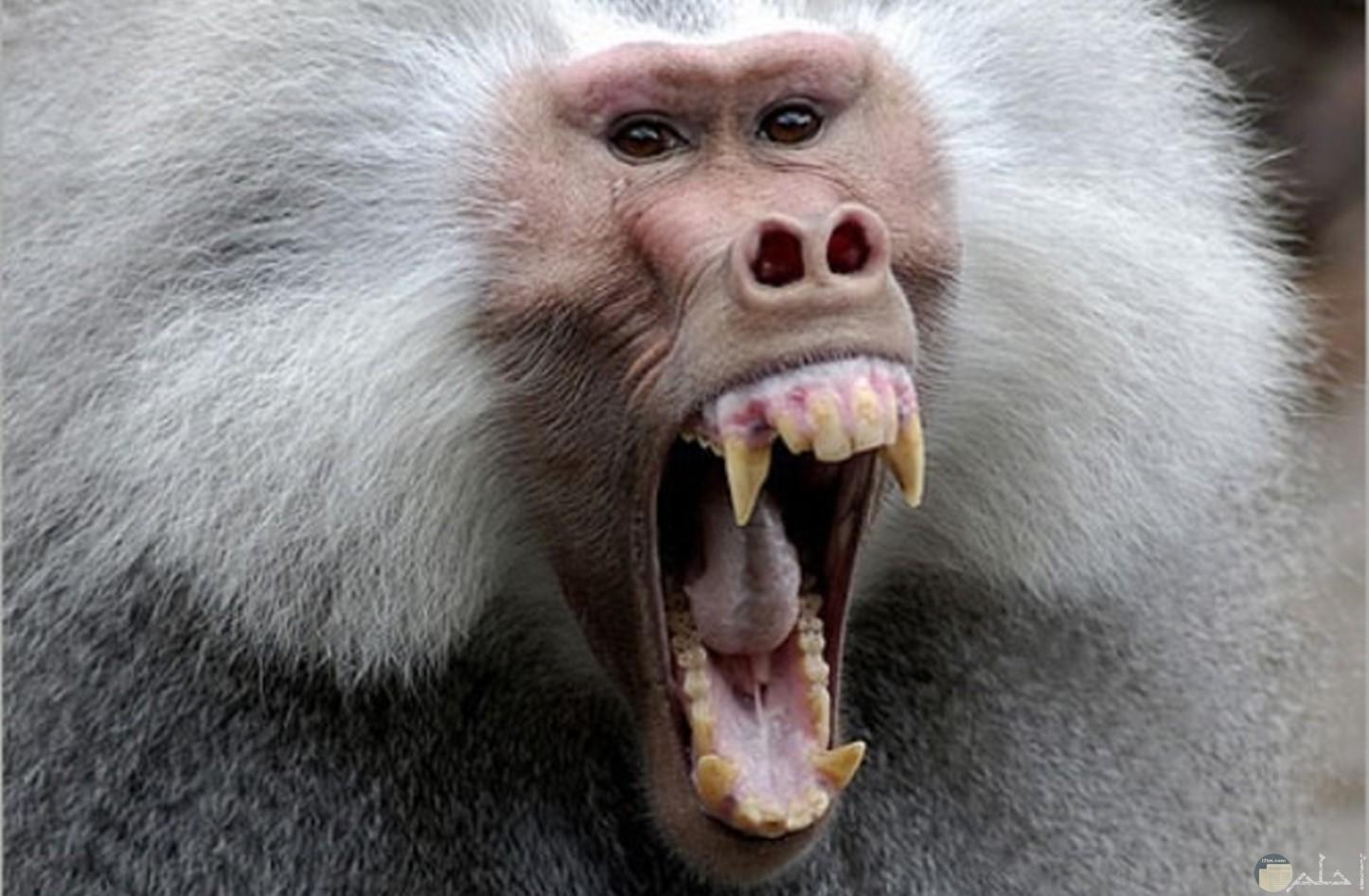 صورة لقردة البابون