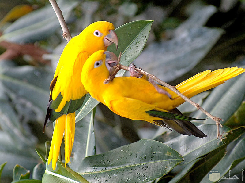 عصافير الكناريا