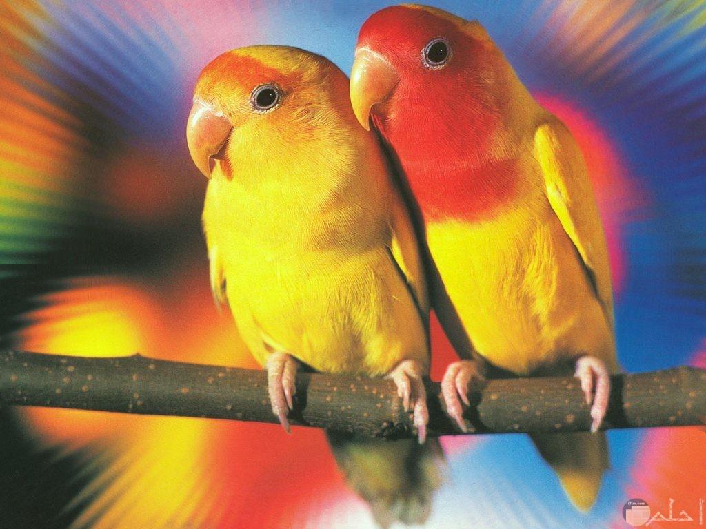 عصافير ملونة