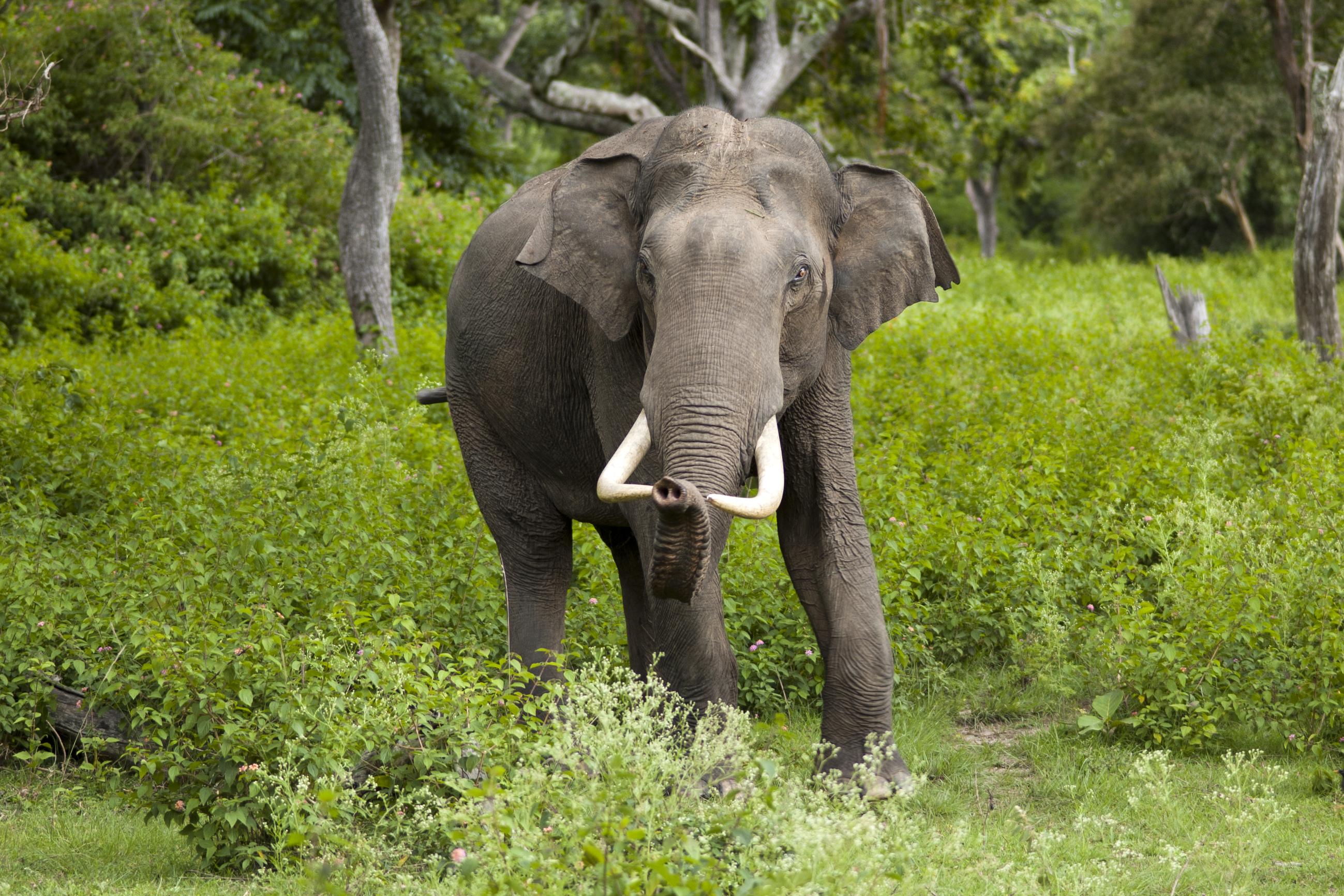 صورة فيل هندي