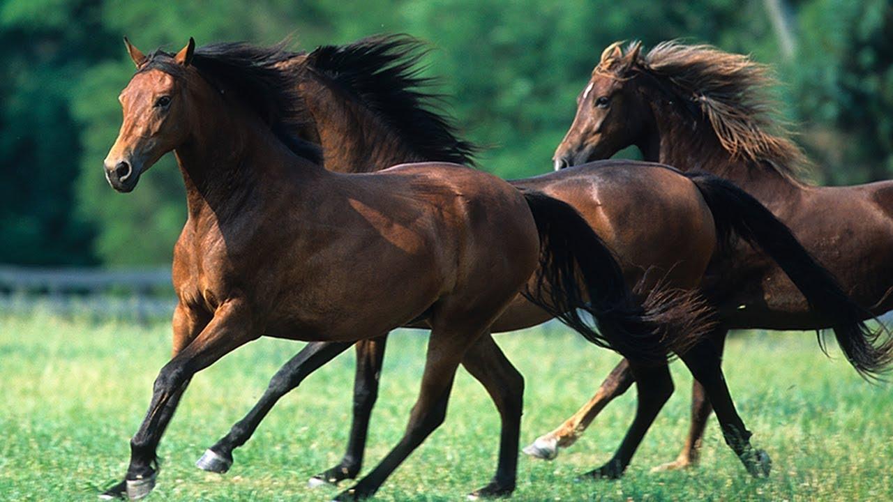 مجموعة من خيول مورجان