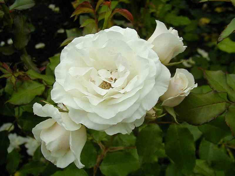 وردة بيضاء عنوان النقاء