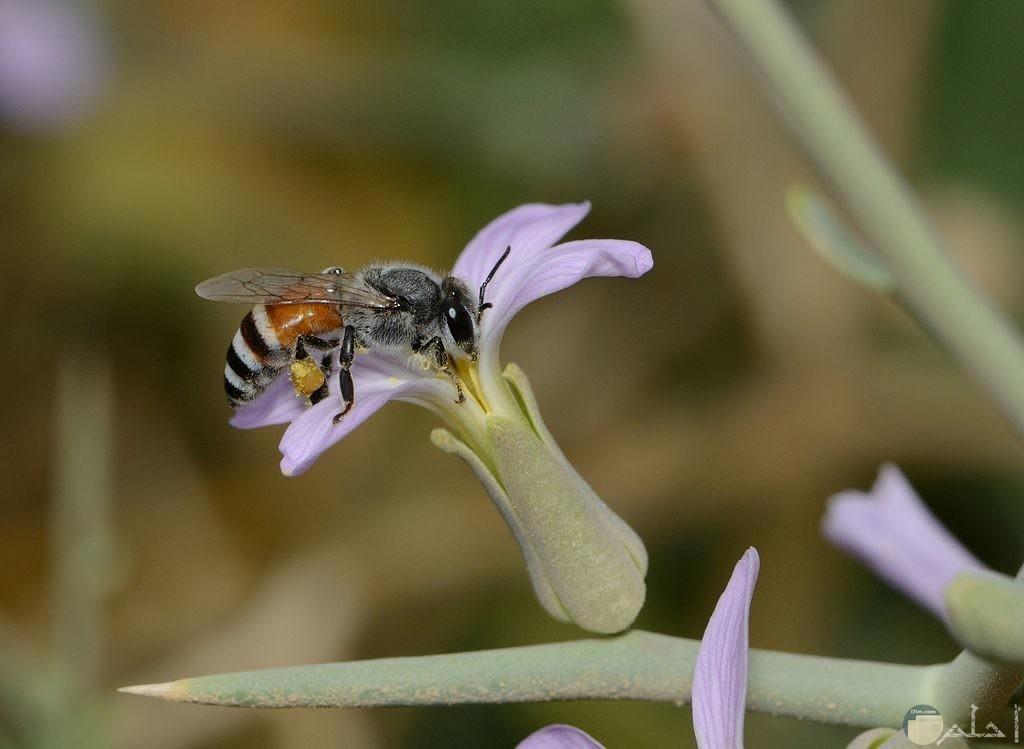 اجمل صور النحل