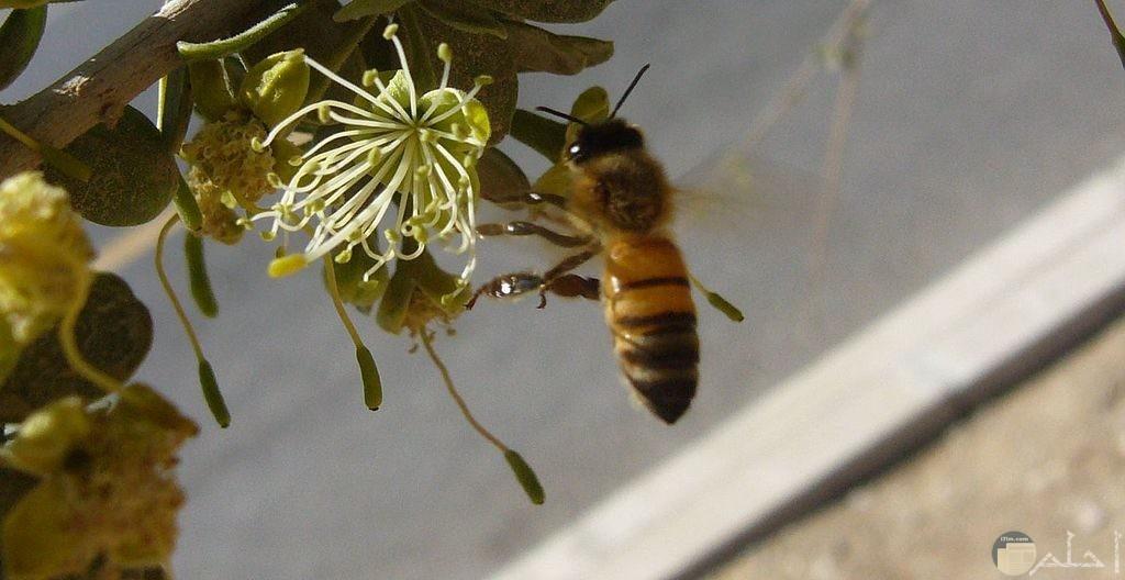 أجمل صور النحل الرائعة