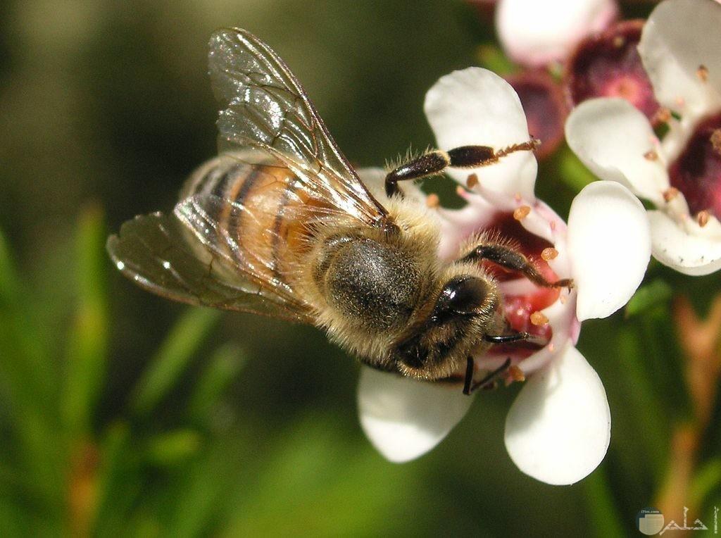 أجمل صور النحل الجميلة جدا
