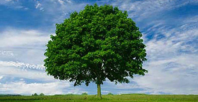 صورة شجرة الأرز واجمل الاشجار في العالم