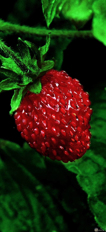 صور فراولة تحفة