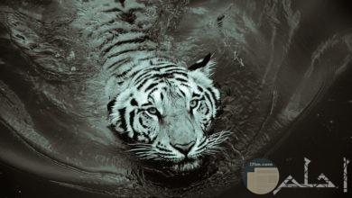 أجمل صور نمر نادرة جدا
