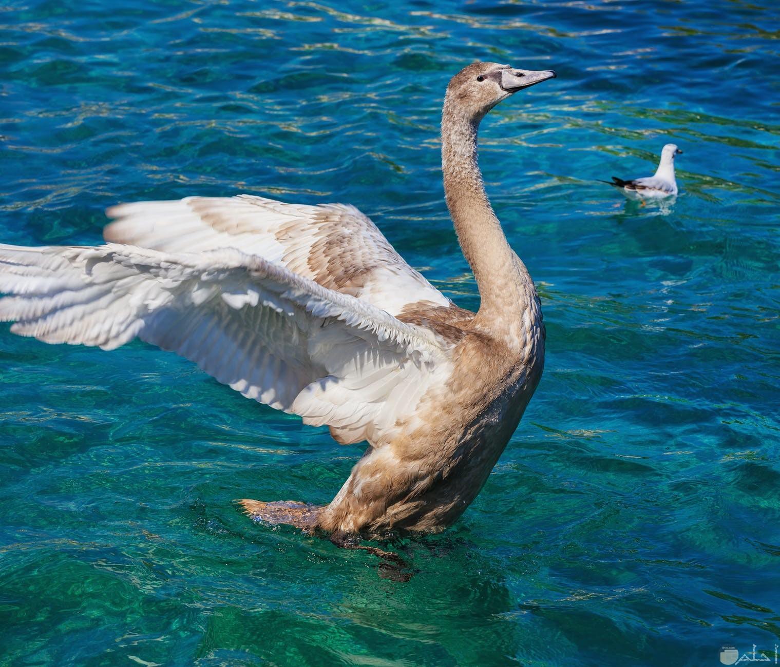 البط وجمالة وسط الماء الازرق