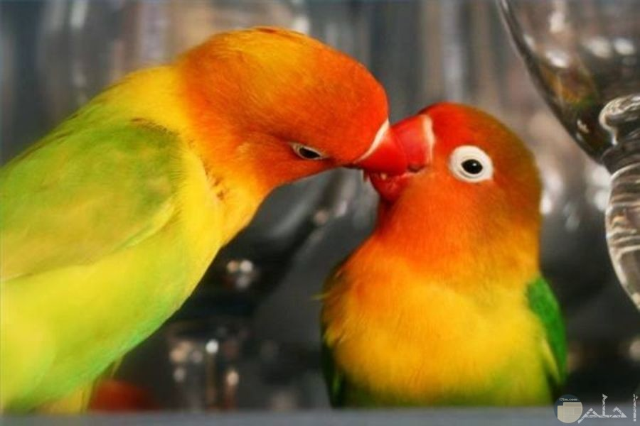 أجمل طيور الحب
