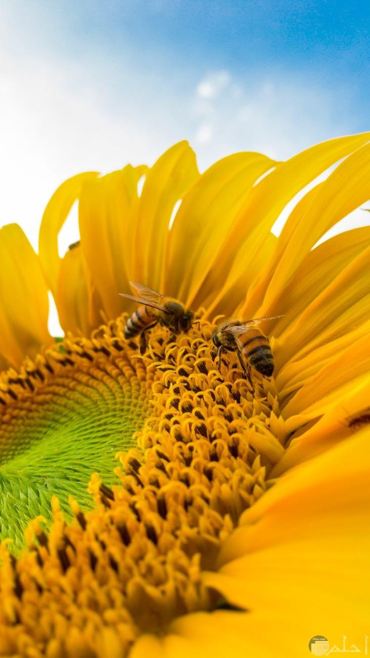 الزهرة التي تستخلص منها رحيق العسل