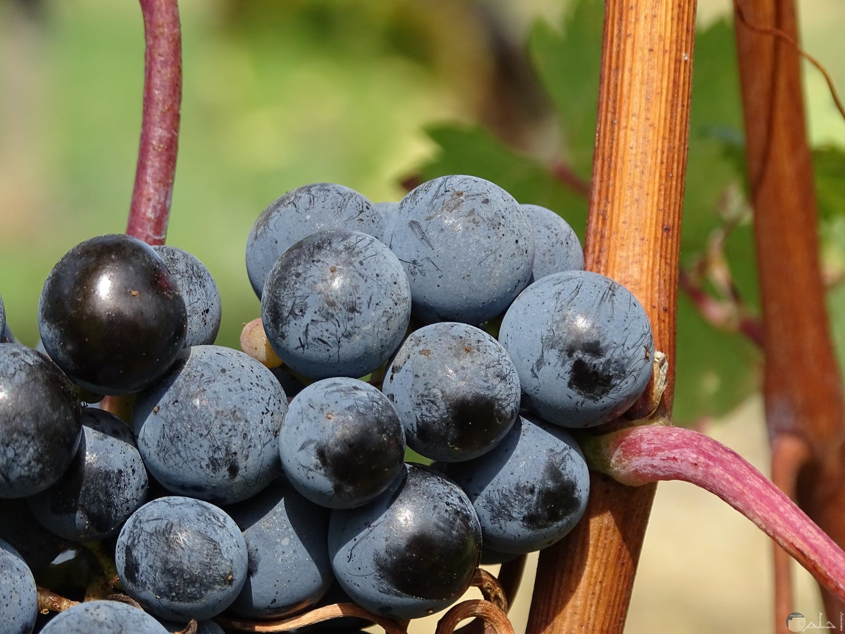 العنب الاحمر المفيد جدا