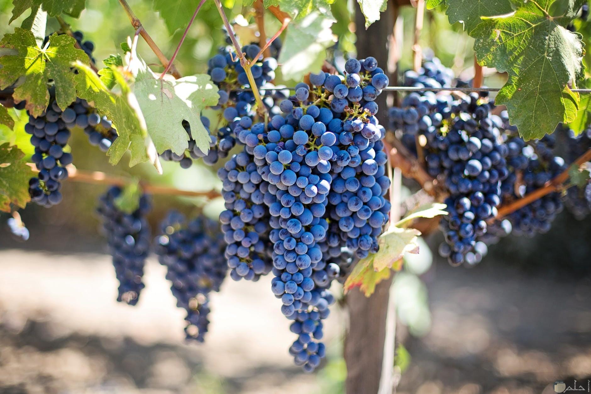 العنب الازرق