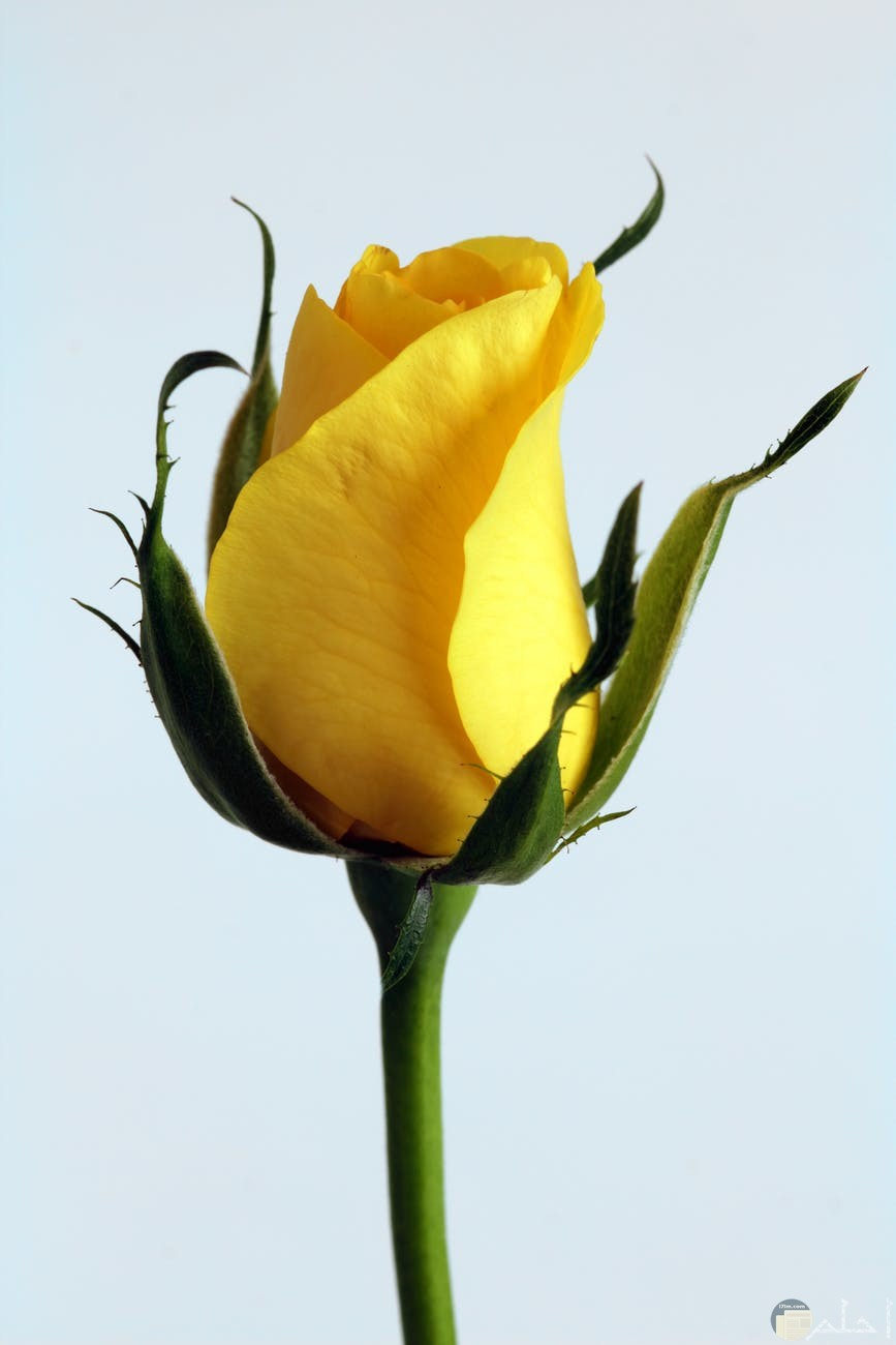 الوردة الصفراء للسنابات