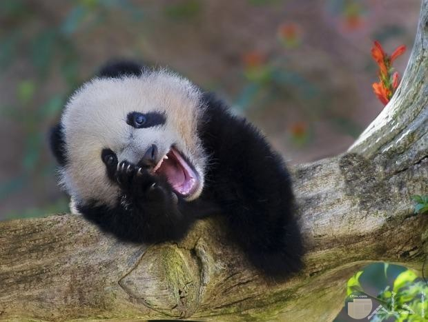 باندا يضحك