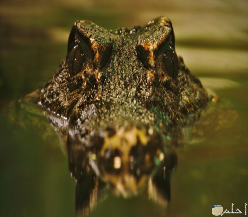 صورة تمساح كبير دخل بحيرة
