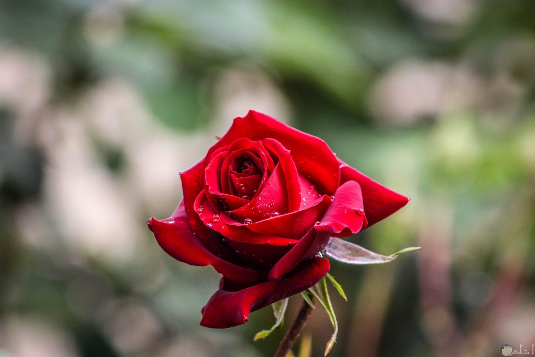 ثيمات الوردة الحمراء للمحبين