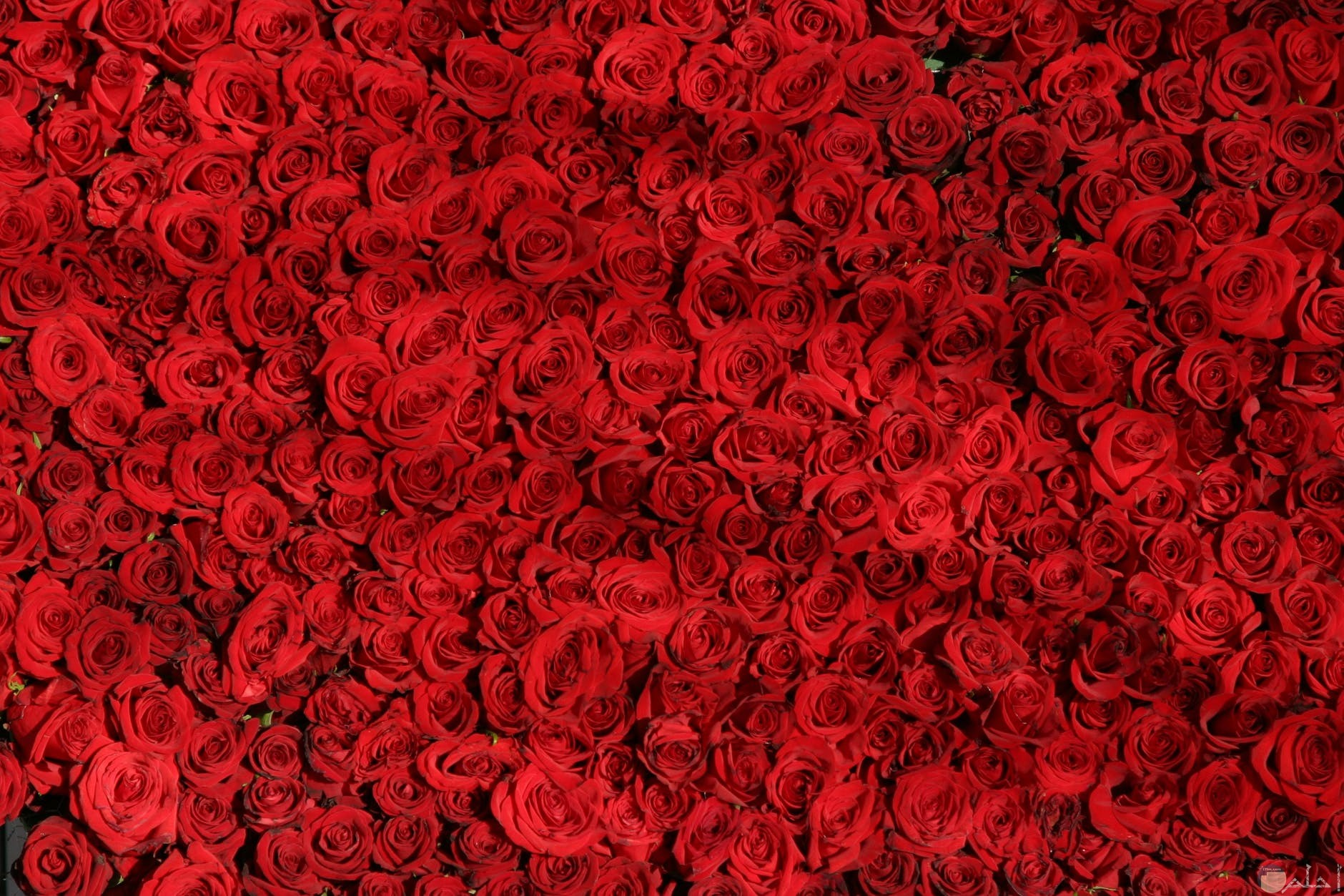 ثيمات ورد احمر للمحبين