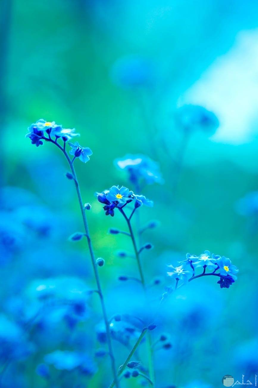جمال الورد الطبيعي الازرق