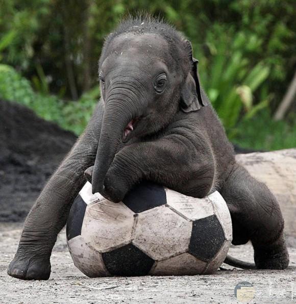 رضيع الفيل يلعب بالكرة