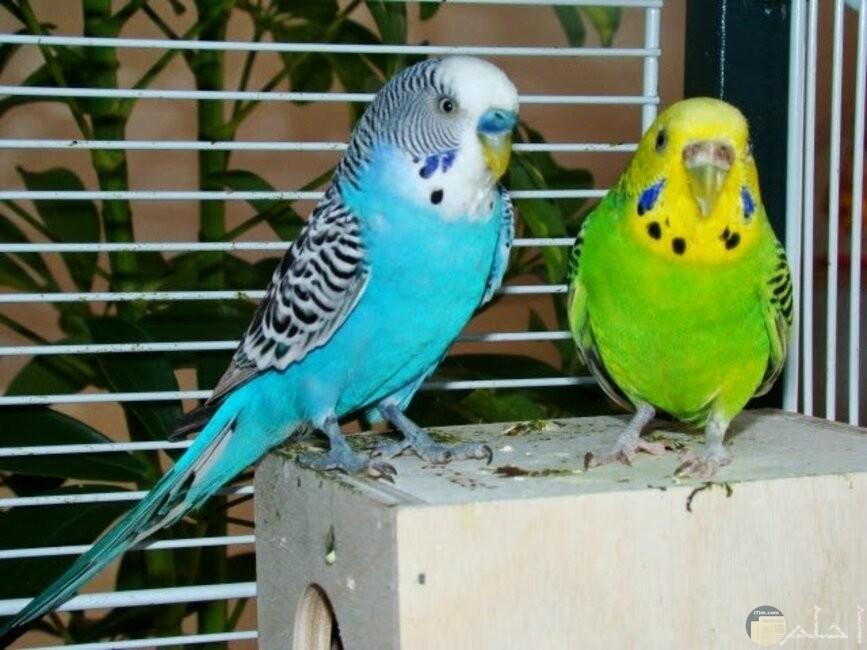 زوجان من طيور الحب