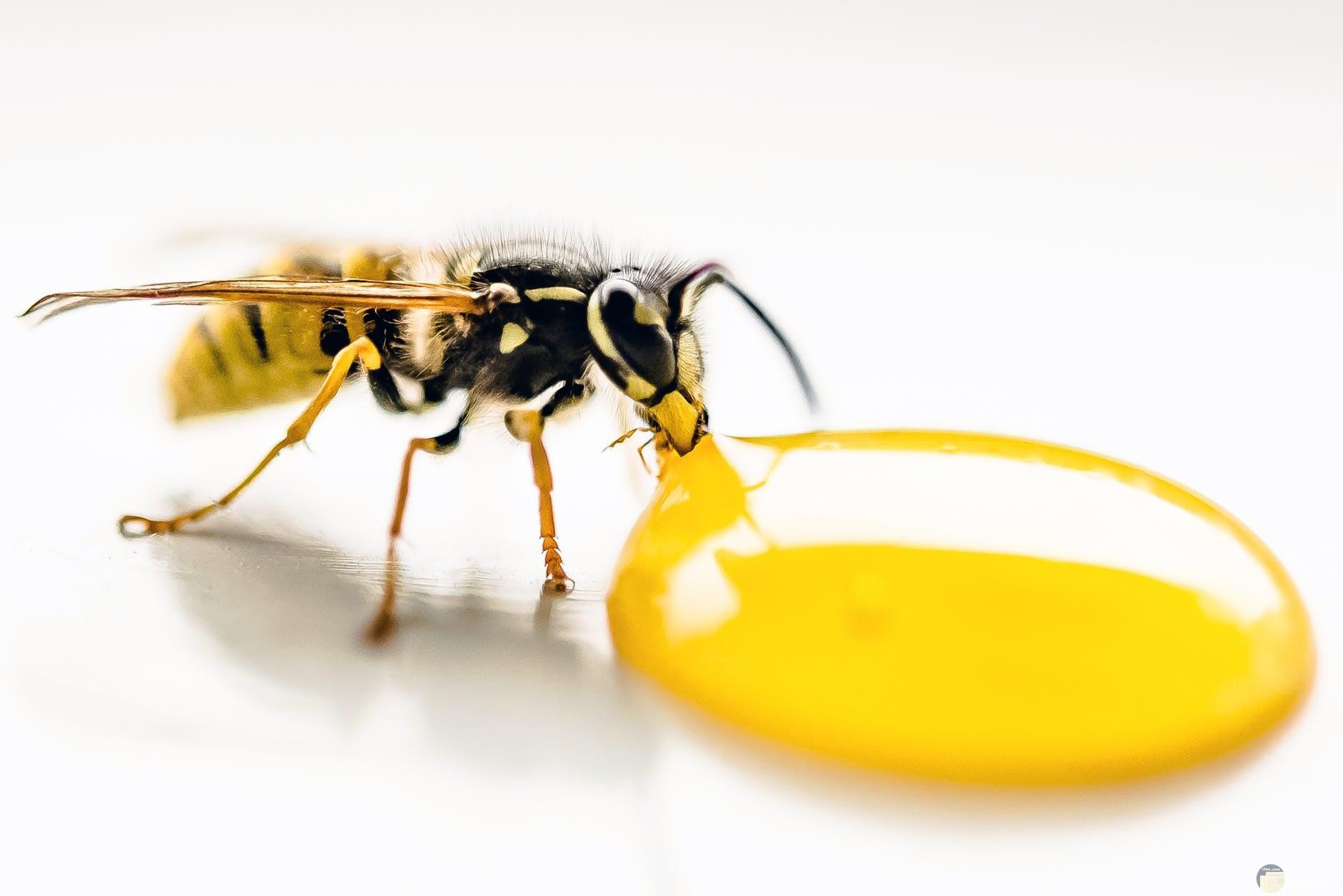شكل النحلة من قرب وخروجها للعسل