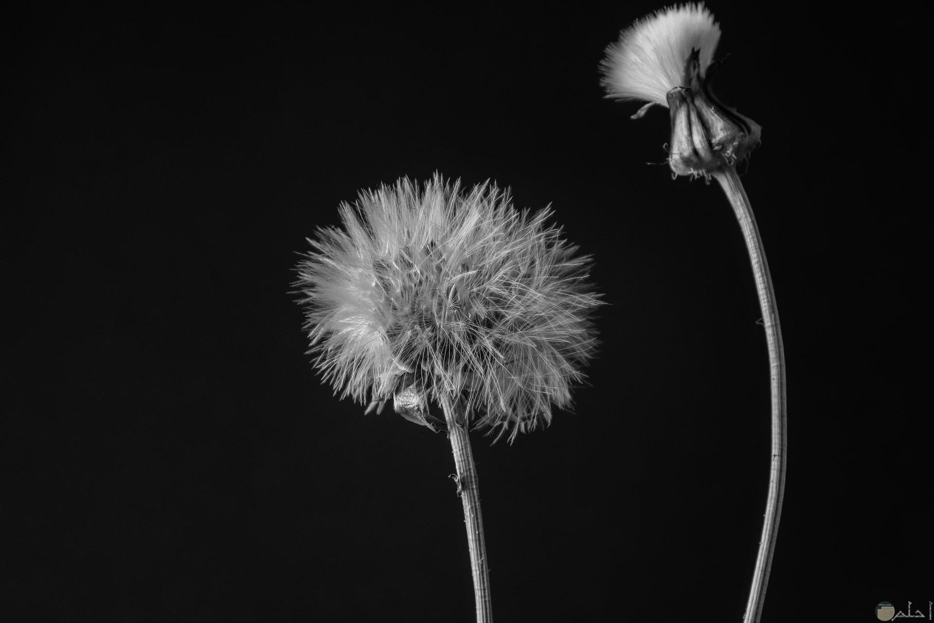 صورة كئيبة بالأبيض والأسود لزهرتين حزينتين