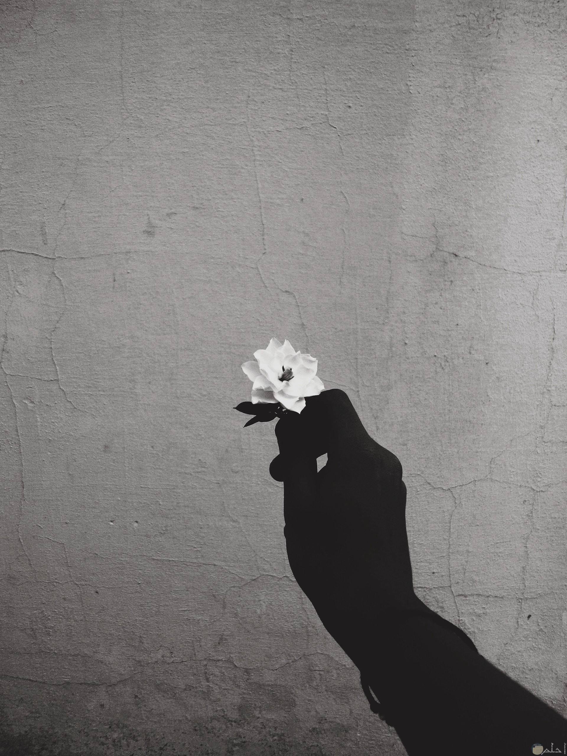 صورة حزينة بالابيض والأسود لوردة بيضاء صغيرة حزينة تحملها يد