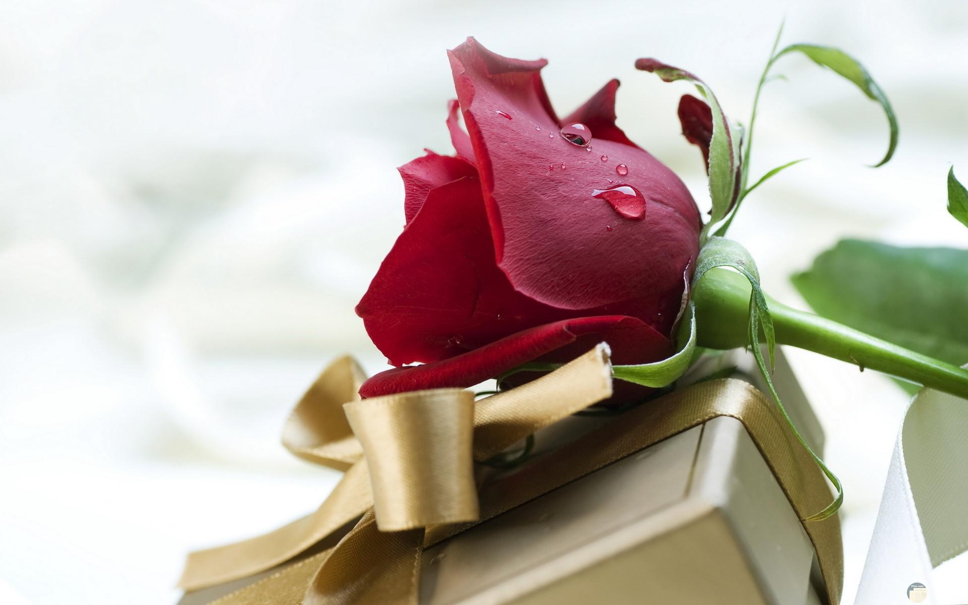 صورة زهرة حمراء جميلة