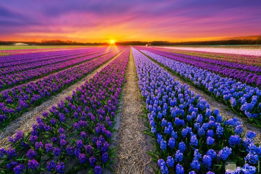 صورة غروب الشمس بين الزهور كشخة
