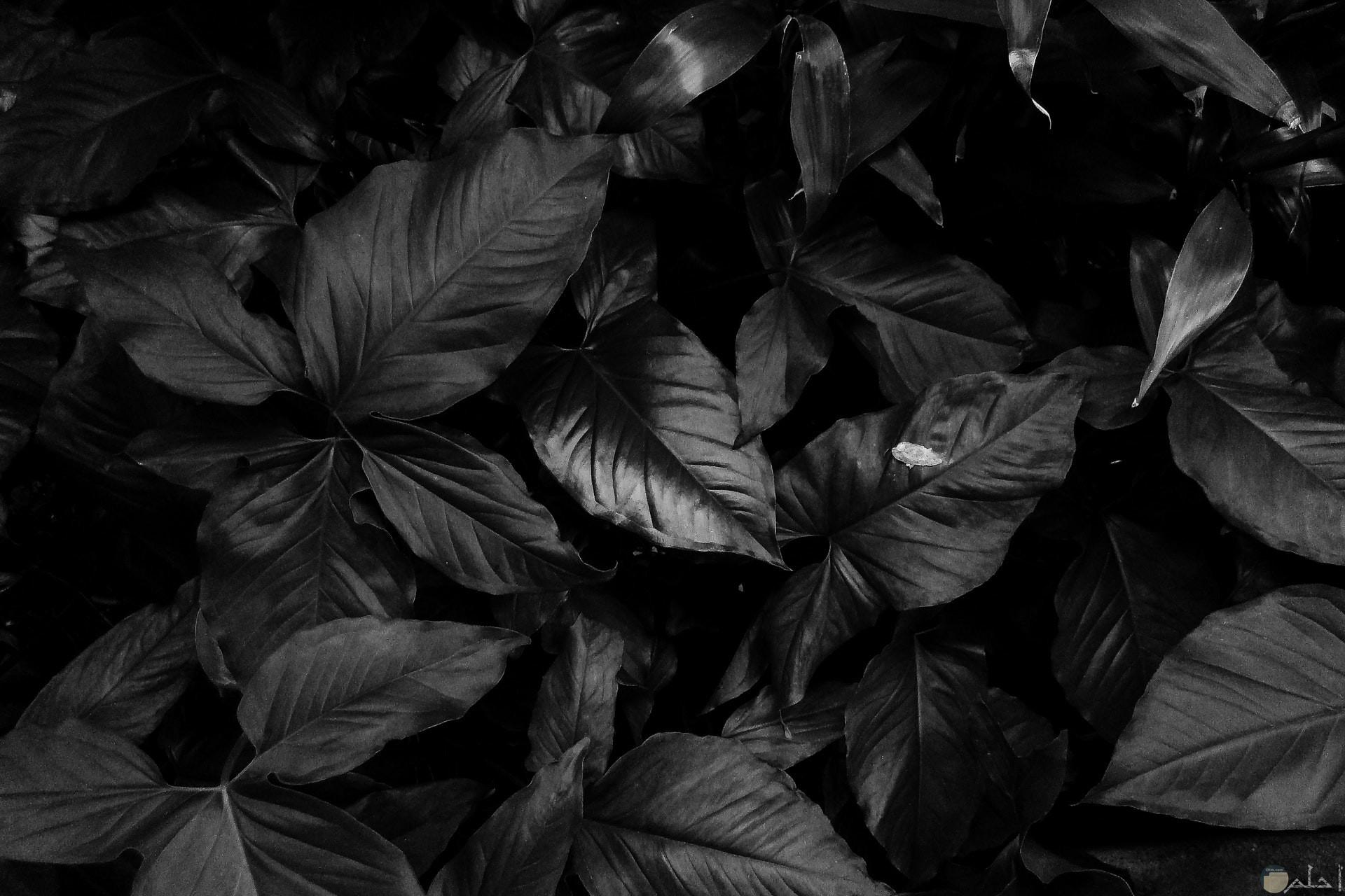 صورة كئيبة باللون الأبيض والأسود لشكل ورد باللون الأسود حزين