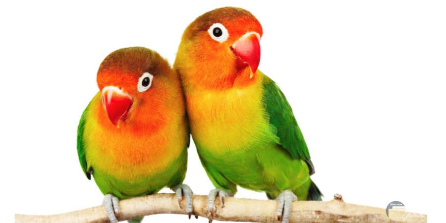 صورة لطيور الحب