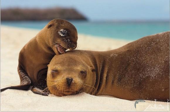 صورة لكلب البحر مع طفله