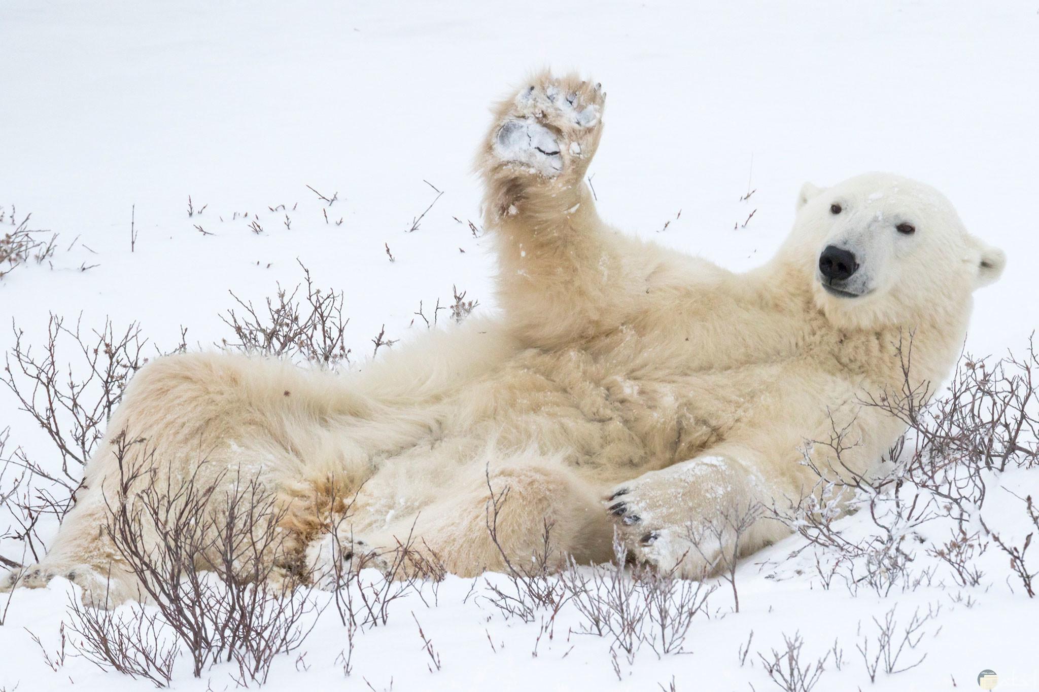 صورة مضحكة للفيس بوك لدب مضحك يلقي التحية