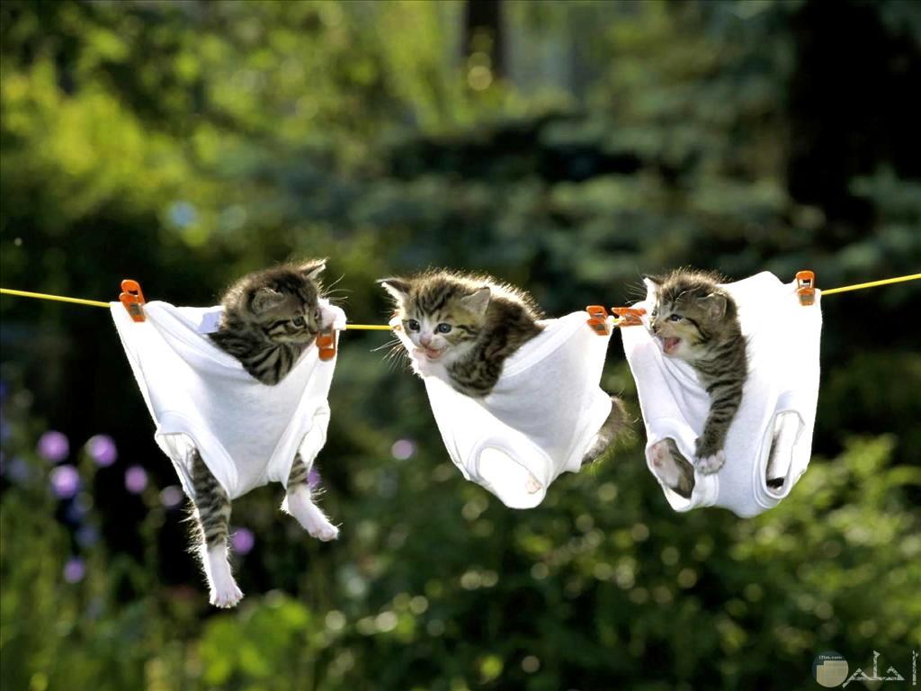 صورة مضحكة لثلاث قطط معلقين في الملابس علي حبل الغسيل