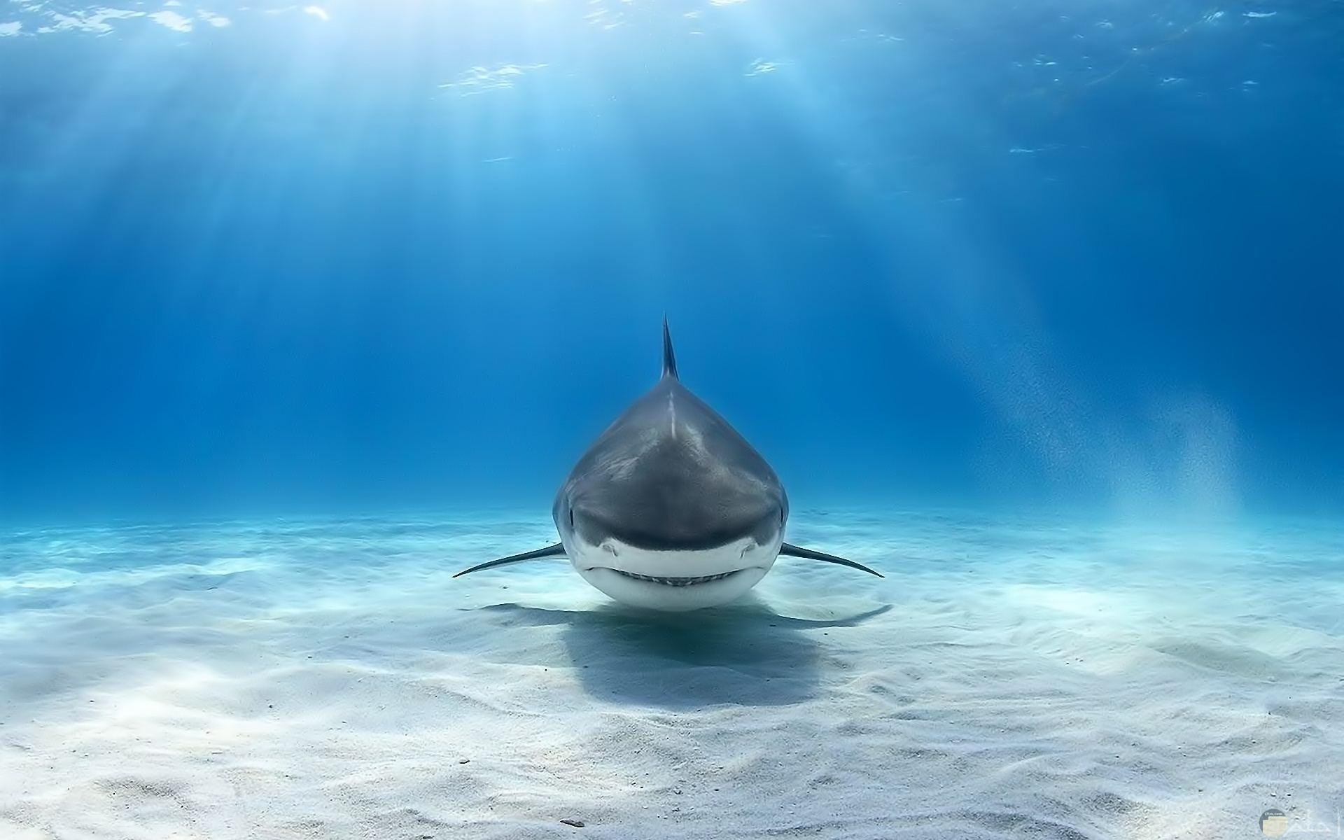 صورة مميزة لسمكة القرش في البحر جميلة لخلفيات الكمبيوتر